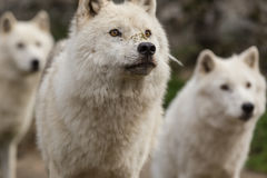 Noordpoolwolven in een bos Stock Afbeelding