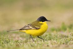 Noordse Gele Kwikstaart; Grey-headed Wagtail; Motacilla thunbergi stock photos