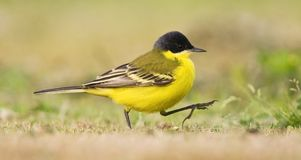 Noordse Gele Kwikstaart; Grey-headed Wagtail; Motacilla thunbergi stock photo