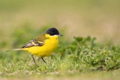 Noordse Gele Kwikstaart; Grey-headed Wagtail; Motacilla thunbergi royalty free stock photos