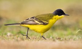 Noordse Gele Kwikstaart; Grey-headed Wagtail; Motacilla thunberg. I royalty free stock image