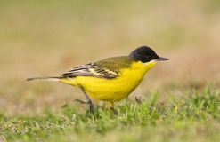 Noordse Gele Kwikstaart; Grey-headed Wagtail; Motacilla thunbergi. Noordse Gele Kwikstaart, Grey-headed Wagtail, Motacilla thunbergi stock photo