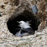 Noordse stormvogel Royalty-vrije Stock Afbeelding