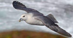 Noordse stormvogel Stock Foto