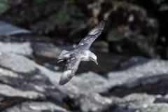 Noordse stormvogel Royalty-vrije Stock Afbeeldingen