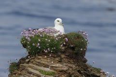 Noordse stormvogel, Fulmarus-glacialis Stock Fotografie
