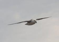 Noordse stormvogel tijdens de vlucht Stock Foto