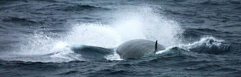Noordse vinvis, Sei whale, Balaenoptera borealis stock image