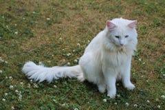 Noors Forest Cat Royalty-vrije Stock Afbeeldingen