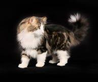 Noors Forest Cat Royalty-vrije Stock Fotografie