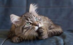 Noors Forest Cat Royalty-vrije Stock Afbeelding