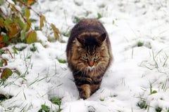 Noors Forest Cat loopt door de sneeuw in koud mistig weer stock afbeeldingen
