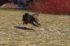 Noors Forest Cat Running Over de de Lenteweide met Grote Sprongen royalty-vrije stock fotografie