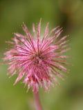 Noorse bloem Royalty-vrije Stock Afbeelding