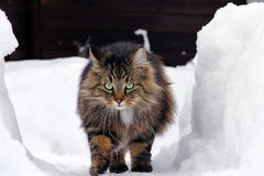 Noorse boskattenlooppas door de hoge sneeuw stock afbeeldingen