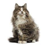 Noorse Boskattenzitting, die geïsoleerd, omhoog eruit zien Stock Foto's