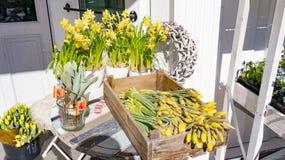 Noorse gele narcissen in witte eenden, mand met gele narcissen Stock Fotografie