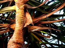Noosa Palm Tree. Looking up at the trunk of a palm tree at Noosa Heads (Queensland's Sunshine Coast, Australia royalty free stock photography