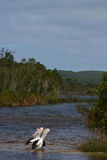 Noosa Pelicans. Pelicans at hed of Noosa River Australia stock photography