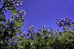 Nootka Lupin flower in the sun Stock Photo