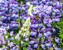 Nootka lupines and bee. In a meadow just outside Alaska's capital city Juneau, summertime is alive with gorgeous purple flowers and humming bees Royalty Free Stock Images