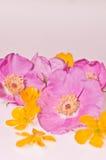 Nootka rosa e ranuncoli Fotografia Stock Libera da Diritti