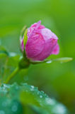 Nootka Rose bud Rosa nutkana Stock Photos