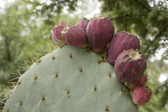 Nopal Stock Photography