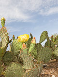 Nopal Cactus Stock Images