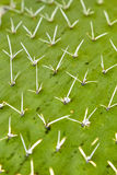 Nopal cactus Royalty Free Stock Photo