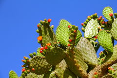 Nopal I Stock Photo