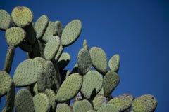 Nopal kaktusa rośliny pod jasnym niebieskim niebem Zdjęcie Royalty Free