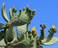 Nopal kaktusowi kwiaty Obrazy Stock