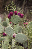 Nopal ( Nopalea ) Prickly Pear Cactus with Red Fruits Royalty Free Stock Photo