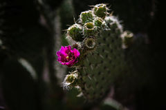 Nopalanlage mit Blume Lizenzfreies Stockfoto