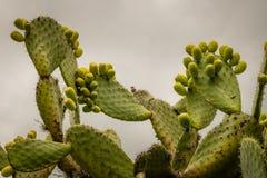 Nopalkaktus mit vielen Feigen in Mexiko stockbild