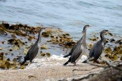 Noppe, Seevogel, Neuseeland stockfotos