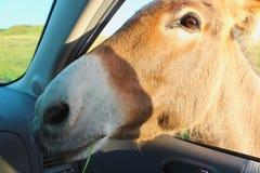 Nora W Samochodowym okno Obrazy Royalty Free
