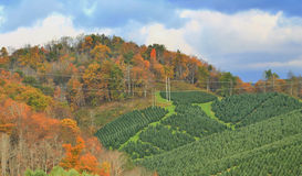 Nord-Carolina Tree Farm 1 Stockbild