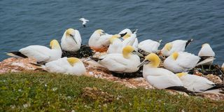 Nord-Gannet fcolony in Helgoland stockfotos