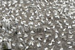 Nord-Gannet-Kolonie auf einer Klippe lizenzfreie stockbilder