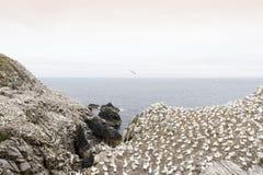 Nord-Gannet-Kolonie auf einer Klippe lizenzfreies stockfoto
