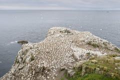 Nord-Gannet-Kolonie auf einer Klippe stockfotos