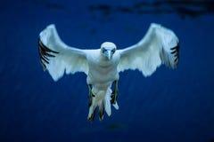 Nord-Gannet-Morus bassanus im Flug, das zum Nest landet lizenzfreies stockbild
