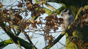 Nord-Hawk Owl stock video footage