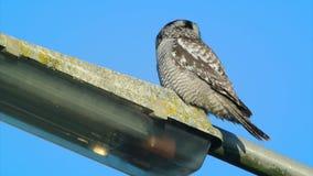 Nord-Hawk Owl stock footage