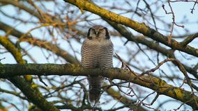 Nord-Hawk Owl stock footage