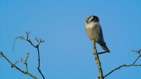 Nord-Hawk Owl stock video