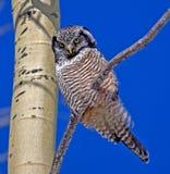 Nord-Hawk Owl Lizenzfreie Stockfotos