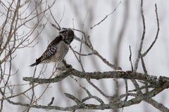Nord-Hawk Owl, Surnia ulula, Gleiche am Zuschauer Lizenzfreies Stockbild